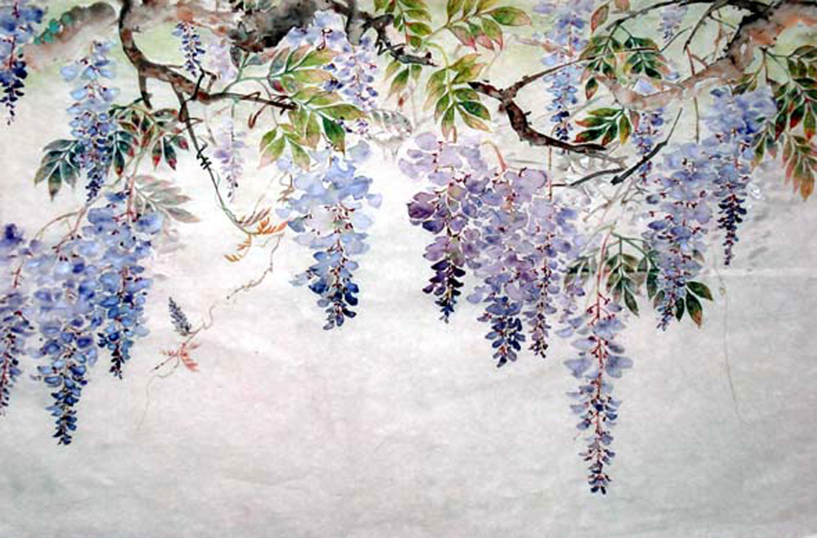 Purple Wisteria blossoms hanging from the vine.