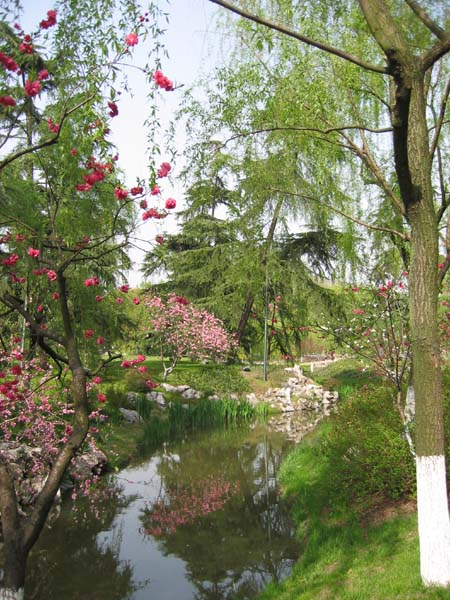 Cherry blossoms in the spring on the West Lake